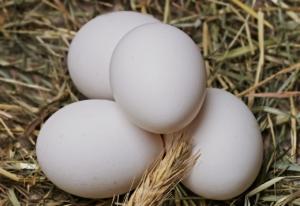 Hühner legen keine Eier
