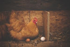Hühner legen Eier