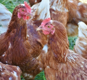 Hühner Parasiten